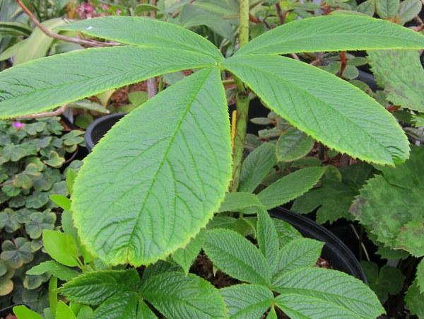 Rodgersia nepalensis HWJK 2140 ex Nepal