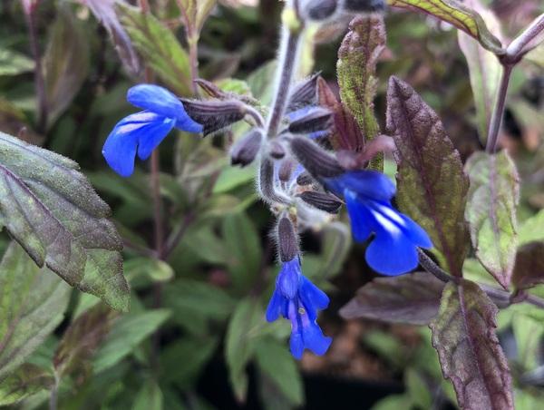 Salvia sinaloensis