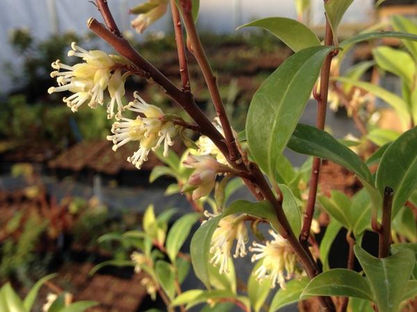 Sarcococca bleddynii FMWJ 13180