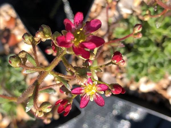 Saxifraga paniculata 'Foster's Red'
