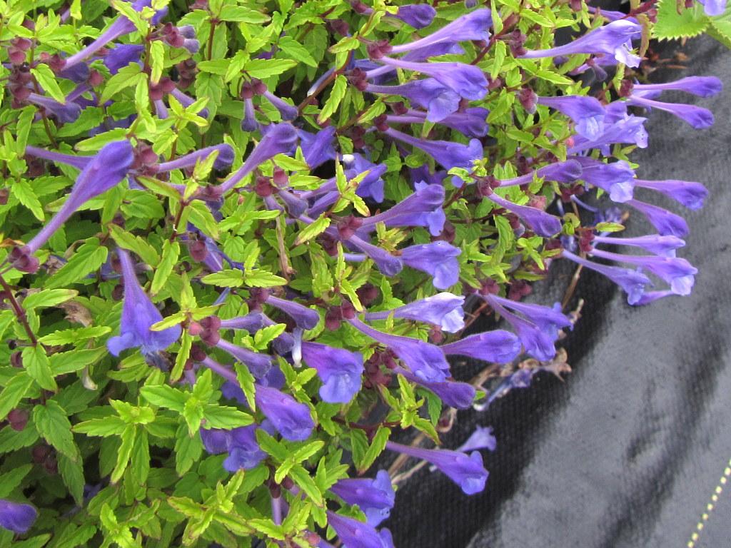Scutellaria scordiifolia 'Seoul Sapphire'