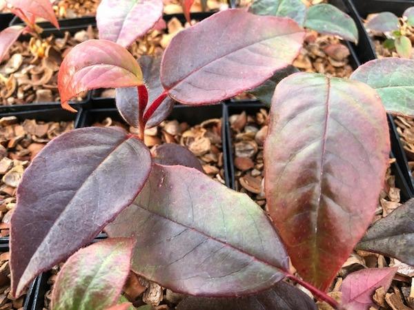 Stewartia crassifolia YuGu 081