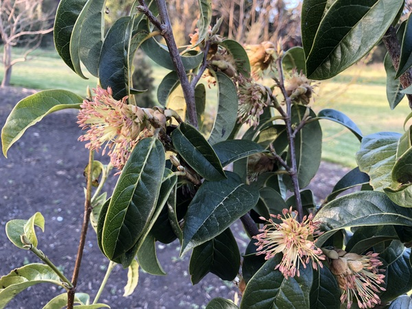 Sycopsis sinensis MD12-800