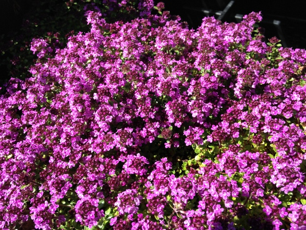 Thymus serpyllum 'Red Elf'