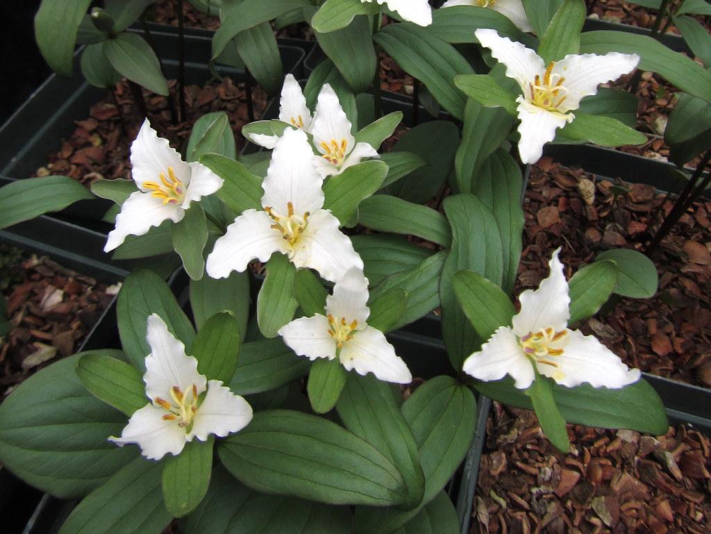 Trillium pusillum 'Early Alabama Spring'
