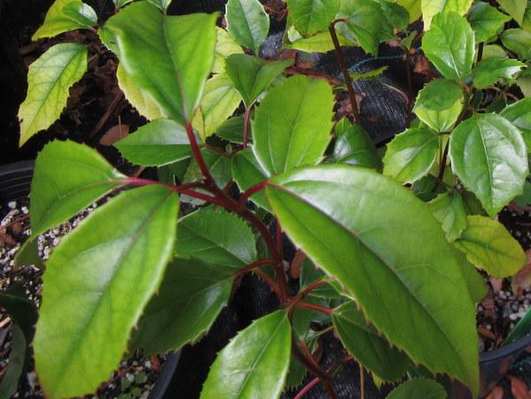 Viburnum sp. PMDT