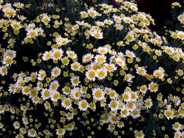 Chrysanthemum 'Snow Dome'