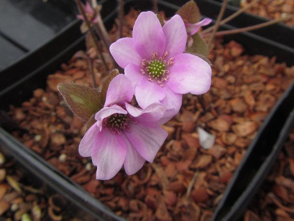 Hepatica nobilis - pink