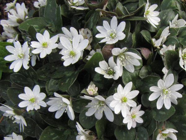 Hepatica nobilis - white