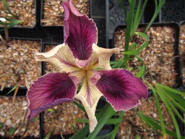 Iris PCH 'Endless'