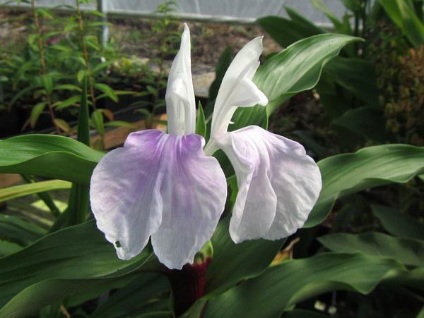 Roscoea purpurea 'Vannin' HWJK2406