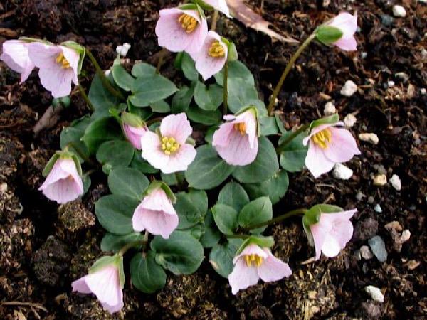Pseudotrillium rivale syn. Trillium rivale